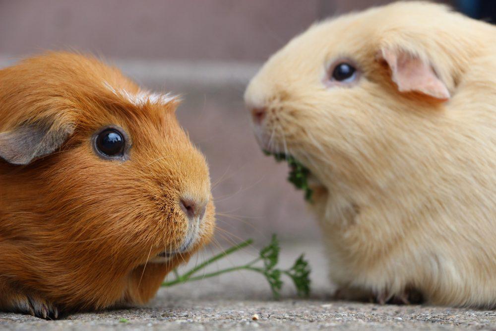 Морські свинки їдять траву