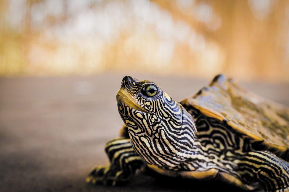 водяна черепаха