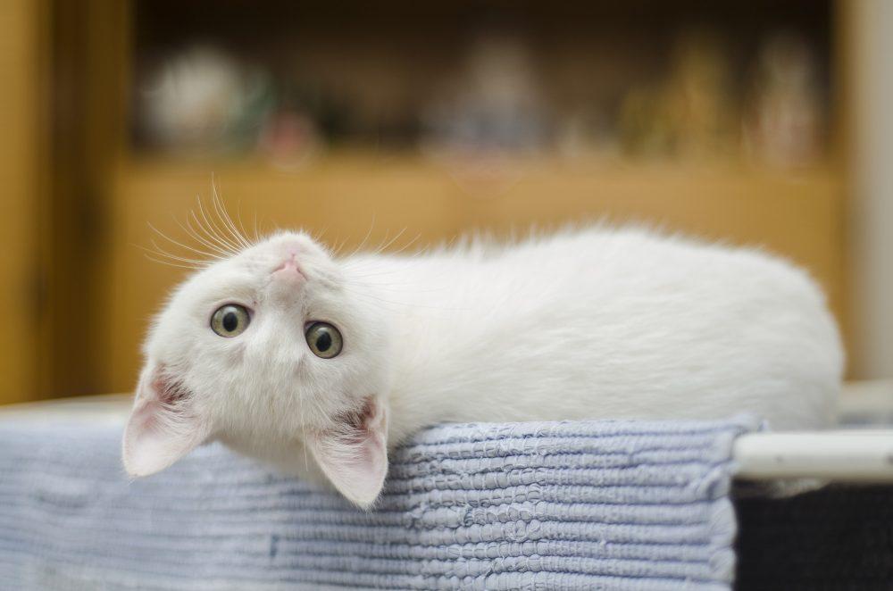 Кого лучше завести: кота или кошку