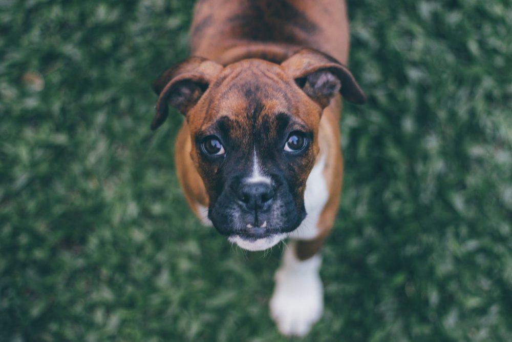 Собака породы боксер