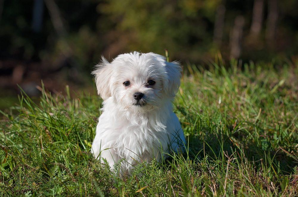 Собака породы бишон