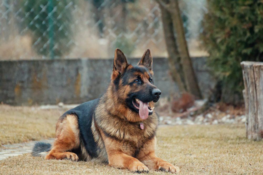 Собака породы немецкая овчарка